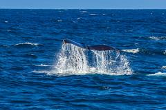whale13Oct5-18 (divindk) Tags: anacapa anacapaisland channelislands channelislandsnationalpark humpbackwhale megapteranovaeangliae sanmiguelisland santabarbara santacruzisland santarosaisland underwater ventura blueocean cetacean diverdoug flukes marine marinemammal ocean reef sea underwaterphotography whale whaletail