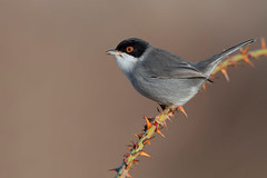 sardinian warbler (leonardo manetti) Tags: bird nature red winter colours naturephotography field natural nikkor countryside green morning black uccello wood forest fields dawn sunrise sardinian warbler albero legno animale nikon d850