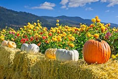 Pumpkins Dahlias 1773 C (jim.choate59) Tags: jchoate on1pics pumpkins autumn fall dahlia hay bales rural hoodriveroregon mountains fruitvalley flower