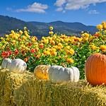 Pumpkins Dahlias 1773 C thumbnail