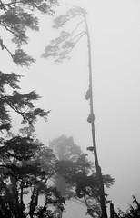 At Dochula: Tree (victoriaei) Tags: dochula 3100m asia bhutan kingdomofbhutan chorten october 2016 autumn mist memorial nikon d5300 drukwangyal trees blackwhite
