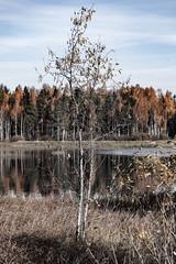 Birch (raymond_zoller) Tags: birke herbst landscape russia russland autumn birch eau landschaft wasser water woda россия береза вода осень пейзаж