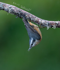 Red-breasted Nuthatch Gymnastics (Bill McDonald 2016) Tags: nuthatch redbreasted ontario canada 2018 october fall green wildlifephotography photography billmcdonald wwwtekfxca nature perching perched upsidedown cute
