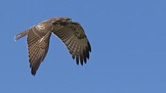 Red Tail Hawk (Bill G Moore) Tags: redtailhawk birdofprey naturephotography wild wildlife canon colorado sky raptor
