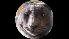 Waylon (ashman 88) Tags: waylon cat wayloncat feline gato felissilvestriscatus feliscatus fisheye housecat