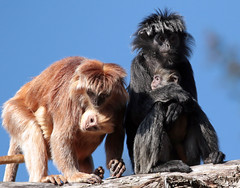 javan langur apenheul 094A1102 (j.a.kok) Tags: animal aap asia azie mammal monkey langur langoer javaanselangoer javanlangur apenheul primate primaat zoogdier dier