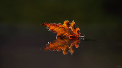 Autumn Reflection... (Piet photography) Tags: lookingcloseonfriday autumn macro leaf reflection herfst elitegalleryaoi