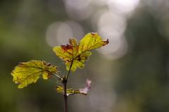 Herbst (Lutz.L) Tags: natur laub blatt makro bokeh