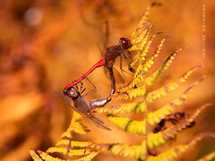 Vermont (georgina e.s) Tags: vermont dragonfly libélula odonata huntington