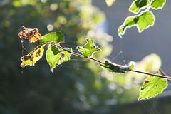 P1130532 (harryboschlondon) Tags: harryboschflickr harrybosch harryboschphotography harryboschlondon october2018 october 2018 21stoctober2018 plantstreesandflowers botanical botanicalphotography nature naturephotography england englandphotography green