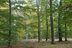 Beech Forest (Wellandok) Tags: buchenwald beech autumn pöök herbst
