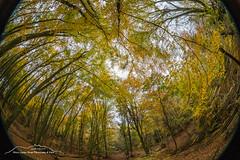 Herbstwald 181104 (Bianchista) Tags: bianchista herbst autum wald forest 2018 november tree trees baum bäume park holz himmel sky wood