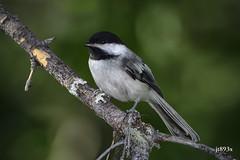 Black-capped Chickadee (jt893x) Tags: 150600mm bird blackcappedchickadee chickadee d500 jt893x nikon nikond500 poecileatricapillus sigma sigma150600mmf563dgoshsms songbird thesunshinegroup alittlebeauty coth coth5 sunrays5 ngc npc