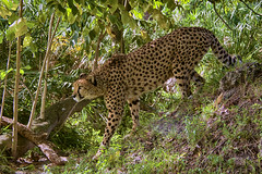 awaiting prey (ucumari photography) Tags: ucumariphotography cheetah acinonyxjubatus cat spots animal mammal naples florida fl zoo november 2018 dsc1182 specanimal specanimalphotooftheday