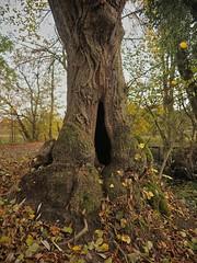 Am Mönchbruch (mittlerweile abgesägt) (nordelch61) Tags: deutschland heimat mönchbruch hessen naturschutzgebiet rüsselsheim mörfeldenwalldorf wald baum bäume ast äste zweig zweige herbst blattfärbung