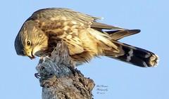 Merlin (Falcon) (rumerbob) Tags: merlin falcon birdofprey raptor bird birdwatching birdwatcher wildlife wildlifephotographer wildlifewatcher nature naturewatcher naturephotography peacevalleypark lakegalena canon7dmarkii canon100400mmlens