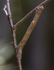 Looper Moth or twig caterpillar (AllHarts) Tags: loopermoth privategarden hollyspringsms naturesspirit thesunshinegroup