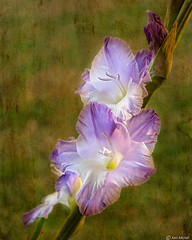 Gladiolus (Ken Mickel) Tags: beautiful botanical bulbs floral flower flowers flowersplants gladiolus kenmickelphotography plants texture textured textures blossom closeup nature photography