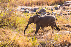 A Herd of Elephants Roam (George Bewsher) Tags: nikon nikond610 krugernationalpark skukuza africa southafrica kruger wildlife nature wanderlust travel animals