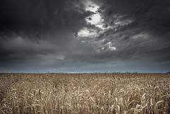 Wheat field (Ignacio Ferre) Tags: field campo trigo wheat wheatfield campodetrigo segovia comunidaddecastillayleón españa spain crop cosecha paisaje landscape agricultura agriculture nature naturaleza nikon cielo sky nubes clouds