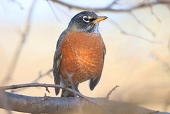 American robin at Lake Meyer Park IA 653A6178 (lreis_naturalist) Tags: american robin lake meyer park winneshiek county iowa larry reis