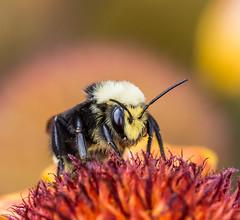 Boss Bee. (Omygodtom) Tags: macro tamron90mm tamron elitebugs insect bokeh d7100 dof natural nikon bumblebee science setting usgs