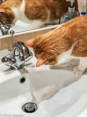 Mushy (Chris Scopes) Tags: cat water ginger bathroom flowing