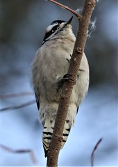 Downy Woodpecker (Picoides pubescens) 11-11-2018 Ocean City--94th St. woods, Worcester Co. MD (Birder20714) Tags: birds maryland woodpeckers picidae picoides pubescens
