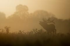 Red Deer (Daniel Trim) Tags: cervus elaphus red deer mammal bushy park royal city london rut rutting sky
