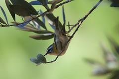 Estrelinha Real (Carlos Santos - Alapraia) Tags: estrelinhareal ngc ourplanet animalplanet canon nature natureza wonderfulworld highqualityanimals unlimitedphotos fantasticnature birdwatcher ave bird pássaro