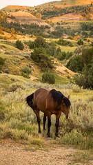 Unbroken (BenBuildsLego) Tags: beautiful sony a6000 prime lens horse national park usa america west north dakota badlands bad lands wild stallion sunset warm landscape