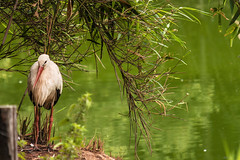 LA CICOGNA    ----    THE STORK (Ezio Donati is ) Tags: uccelli birds animali animals natura nature stagni ponds acqua water alberi trees colori colors italia parcodelticino provinciadipavia