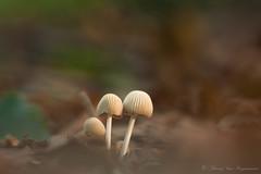 Coprinellus (vanregemoorter) Tags: mushrooms champignons macro