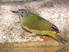 Pito real (Picus viridis)  (37) (eb3alfmiguel) Tags: aves pájaros carpinteros pito real picus viridis