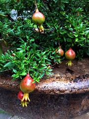 Pomegranate (Anna Gelashvili) Tags: гранат tree дерево pomegranate ბროწეული трава сад почва