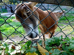 born_065 (OurTravelPics.com) Tags: born mouflon kasteelpark zoo