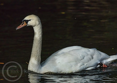 Wildlife October 7th 2018 052 - Swan in the Calder (Mark Schofield @ JB Schofield) Tags: pennine way south pennines peak national park trust hills moors vallies valley reservoir water peat moorland bog moss agriculture yorkshire huddersfield wessenden head pule buckstones scammonden royd edge holme colne marsden meltham digley march haigh west nab deer emley mast lapwing curlew hare bird wildlife oyster catcher chick young short eared owl hunting little duck mallard grouse kestrel red grey wagtail flight fly moorhen buzzard heron dipper geese canada goose great tit blue finch