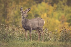A good animal (Tracey Rennie) Tags: muledeer deer autumn fall alberta cochrane