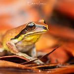 Green-thighed Frog (Litoria brevipalmata) | SEQ thumbnail
