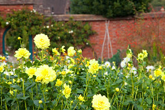 Kitchen Garden @ Chartwell (Adam Swaine) Tags: chartwell naturelovers nature nationaltrust flora flowers dahlias gardens beautiful britain british petals england english garden walledgarden uk ukcounties kent yellow
