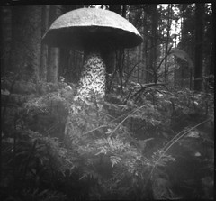Mushroom (Tomas Ruginis) Tags: pinhole 66 tmax100 mushroom medium format forest nature bw epson600 lithuania lietuva 120 film