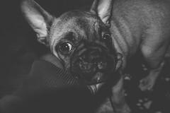 Cupcake, Presley - ten weeks.    #khokana #animalpicnic #graphic #frenchie #greetings #bigears #theboss #dogsofinstagram #puppylove #frenchbulldog #minimal #frenchielove #cutenessoverload #moodygrams #tea_journals #doglover #lightandshadow #puppy #art #bn (jophipps1) Tags: noiretblanc bnwrose moodygrams puppylove teajournals greetings streetphotography minimal blackandwhite theboss frenchbulldog lightandshadow graphic downwarddog frenchie art frenchielove animalpicnic bnw dogsofinstagram flickr cutenessoverload puppy doglover bigears khokana bnwofourworld amateurbnw