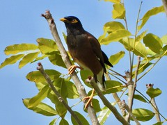 Martin triste (Merle des moluques)(Acridotheres tristis) (Faapuroa) Tags: bird moluques polynésie polynesia tahiti p1000 acridotheres tristis merle nikon coolpix