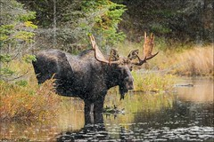 Bull Moose in Snowfall (Daniel Cadieux) Tags: moose bull male antlers algonquinpark forest lake snow snowing snowfall snowflakes water mammal