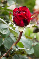 Garden Andrews G9 rose AND_7663.jpg (ImaginingsLifeImages) Tags: 2018 rosa plants water gardenweekend towngarden nsw garden roseaceae urallashire eudicot stpeters events waterdrops flowering rose church nature magnoliophyta weather phanerogamae magnolopsida plant rosales macro flora uralla leecerd plantae northerntablelands newengland australia places rain angiospermae dicot