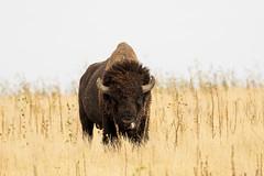Bison on Antelope Island....6O3A4012CR2A (dklaughman) Tags: bison buffalo saltlakecity saltlake utah