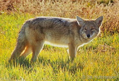 October 21, 2018 - A fine looking coyote at the Arsenal.  (Bill Hutchinson)