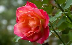 Rose (Phet Live) Tags: