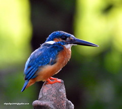 DSCN4314 Common Kingfisher (Alcedo atthis) (vlupadya) Tags: greatnature animal aves fauna indianbirds common kingfisher alcedo kundapura karnataka