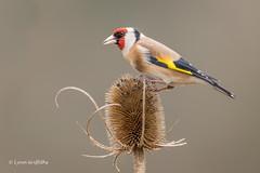 Goldfinch D85_2651.jpg (Mobile Lynn) Tags: birds goldfinch finch nature bird fauna fringilladae oscines passeri passeriformes songbird songbirds wildlife coth specanimal coth5 ngc npc
